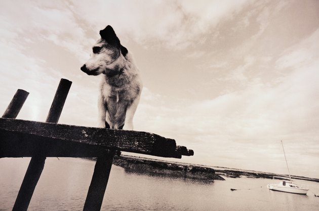 Dog standing on edge of jetty, low angle view (grainy, B&W)