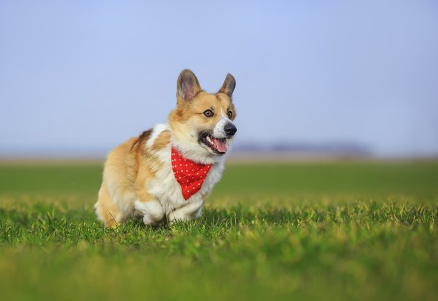 red Corgi dog puppy Pembroke runs merrily across a green meadow open mouthed on a Sunny spring day