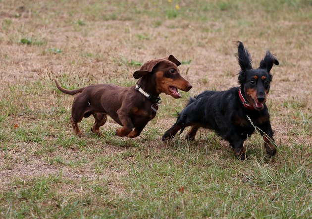two dachshunds chasing each other