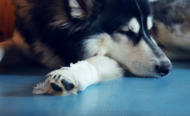 Sad and bored Siberian Husky must stay inside with white bandage after injury on his leg