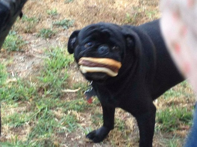 Black pug with an entire hot dog and bun in its mouth