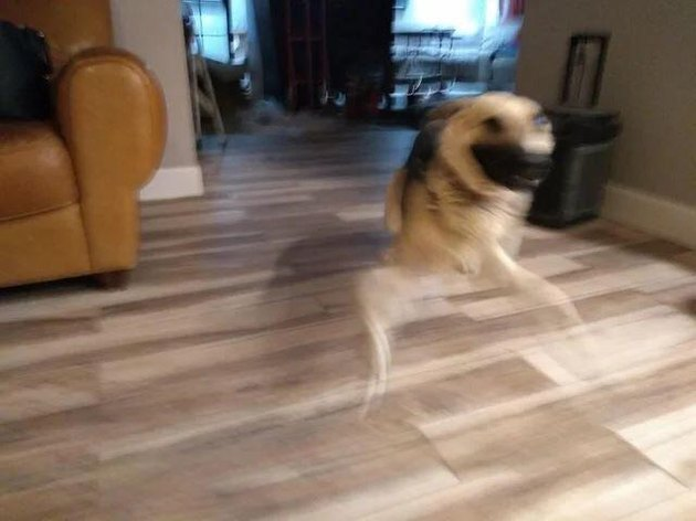 Blur of dog running through living room