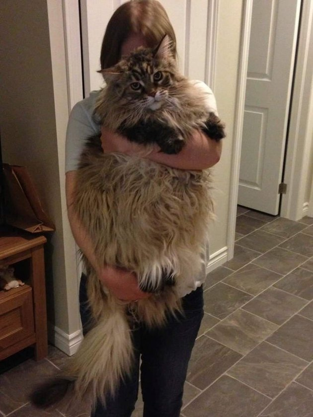 Person holding very large and fluffy cat