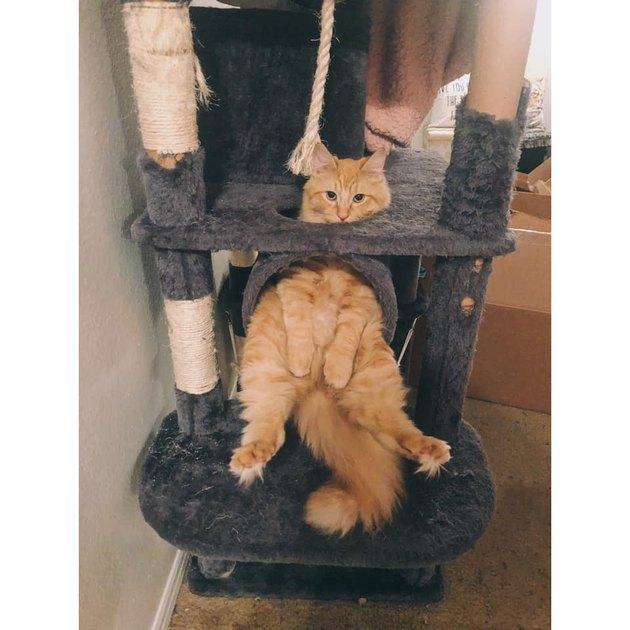 chunky cat on cat tree