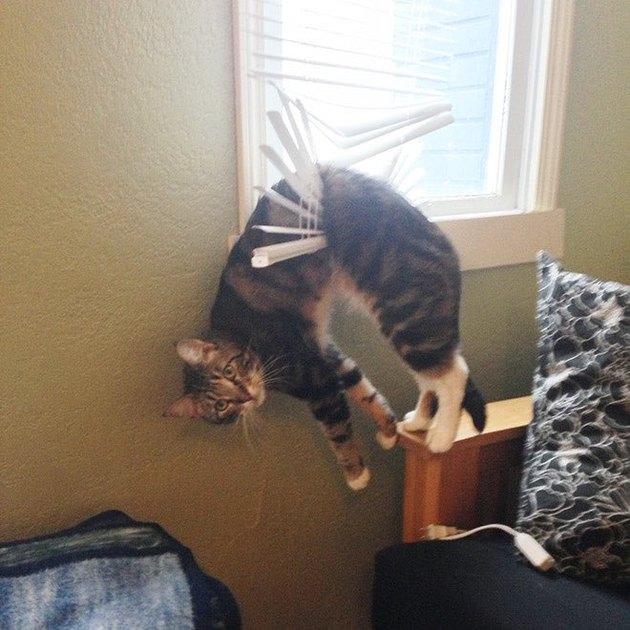 cat stuck in window blinds