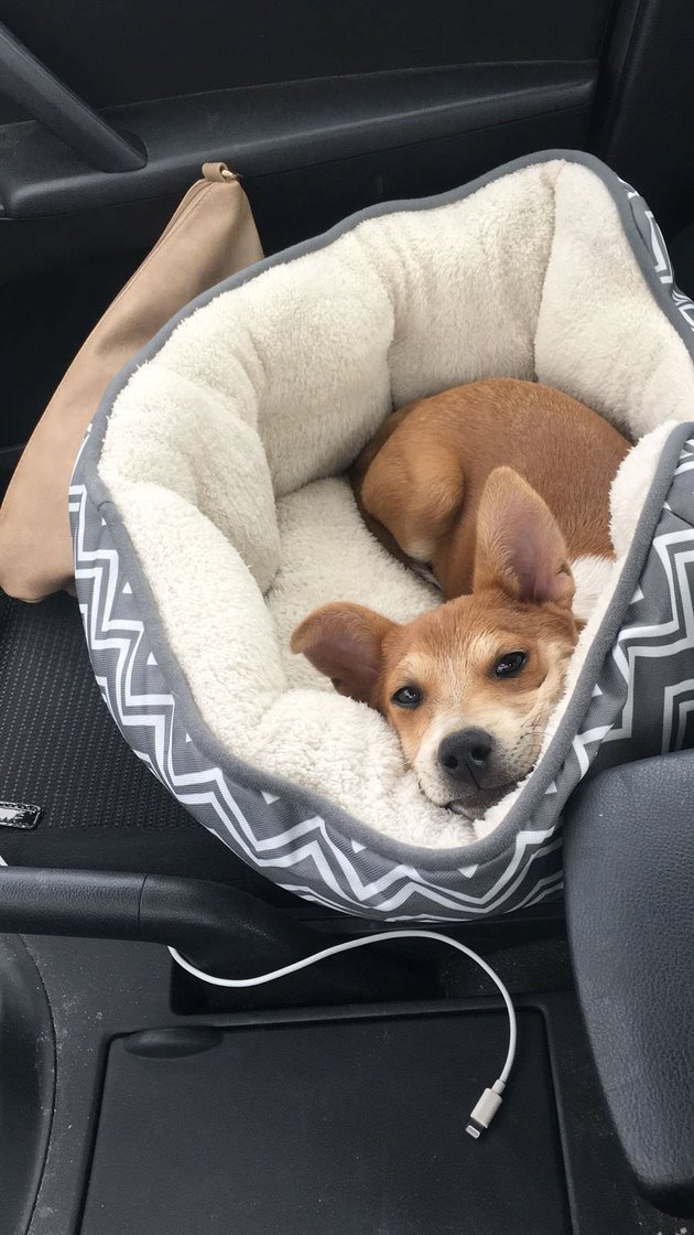 Puppy in dog bed in car's front passenger seat