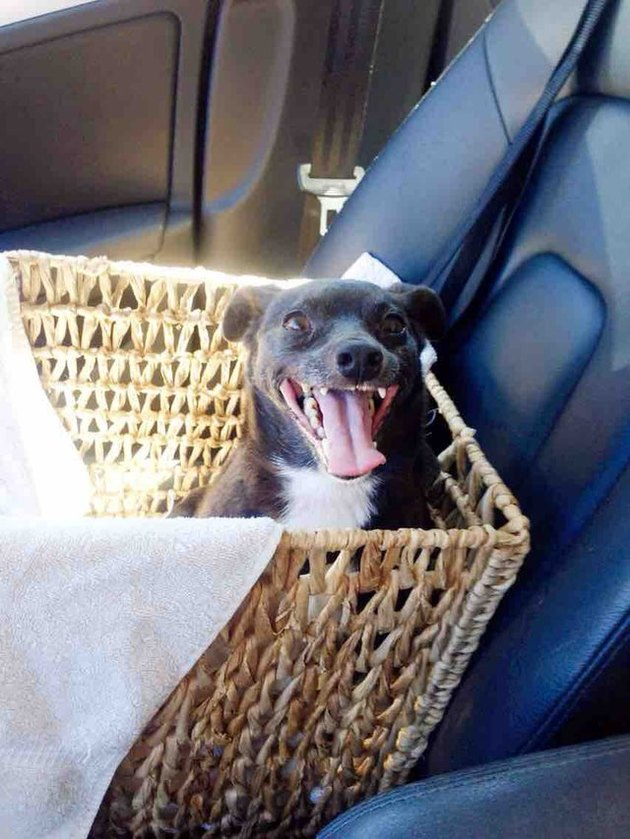Dog in basket in car's front passenger seat.