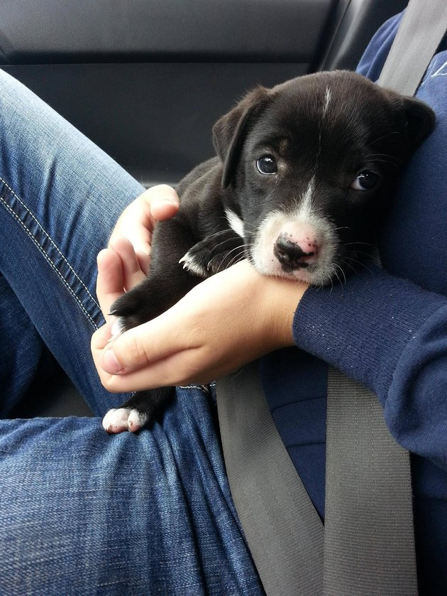 Puppy in lap of person in car's front passenger seat.
