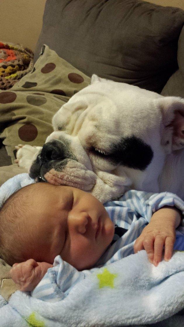 Bulldog resting its head on sleeping baby.