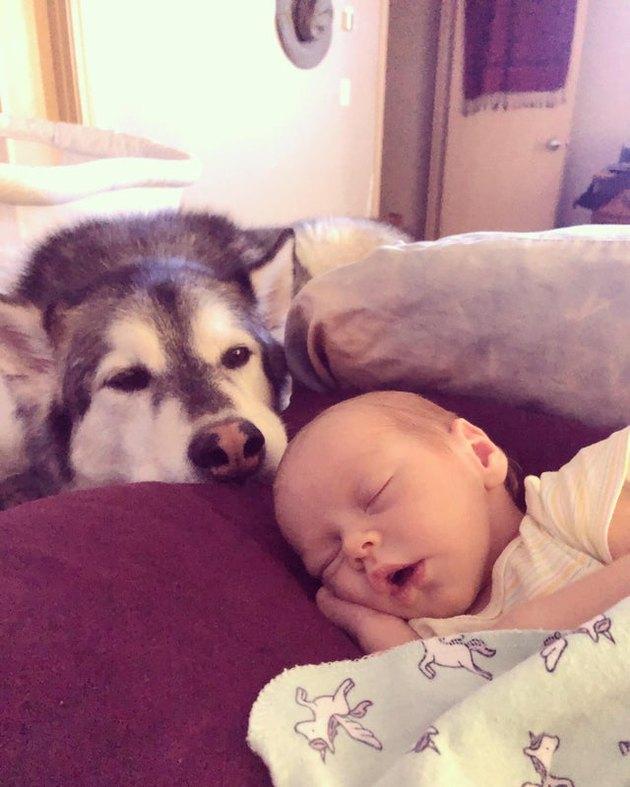 Husky looking at sleeping baby.