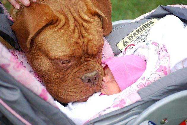 Dog sniffing newborn baby in carrier.