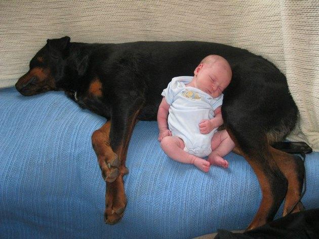 Baby sleeping next to Rottweiler.