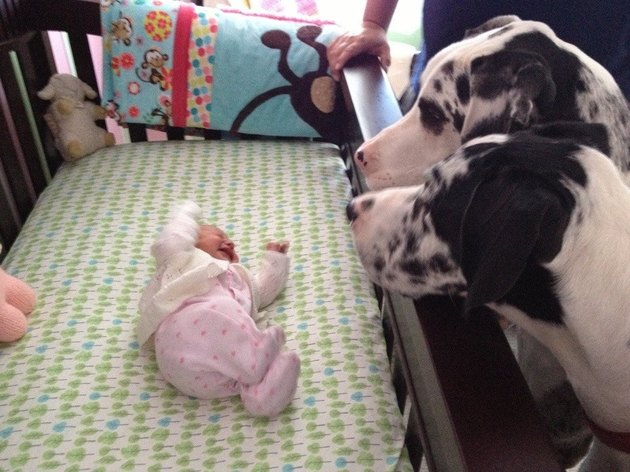 Two Great Danes looking at baby in crib.