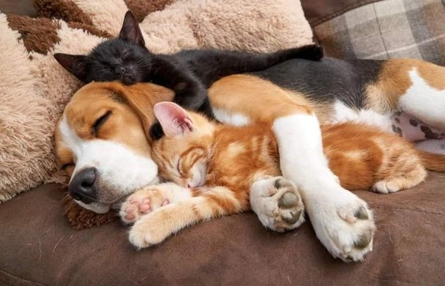 Dog sleeping with two kittens