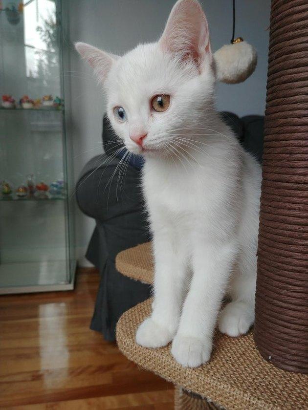 White kitten with heterochromia