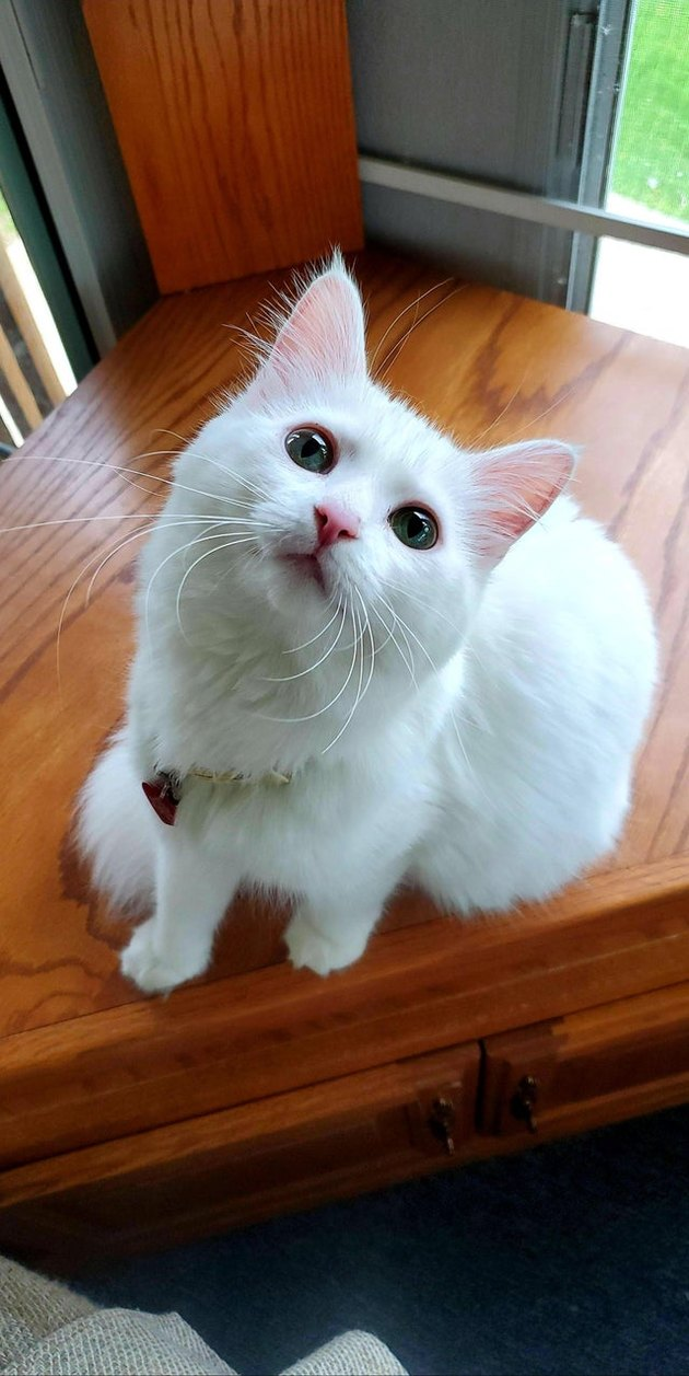 White kitten with pink nose