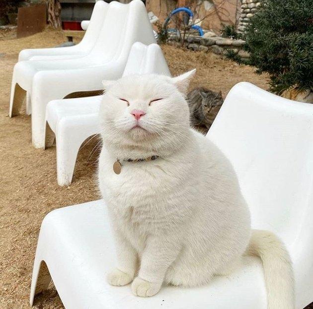 Round white cat