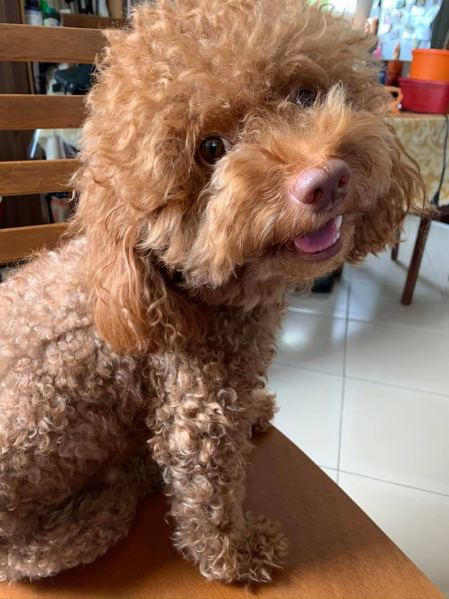 curly haired dog smiles