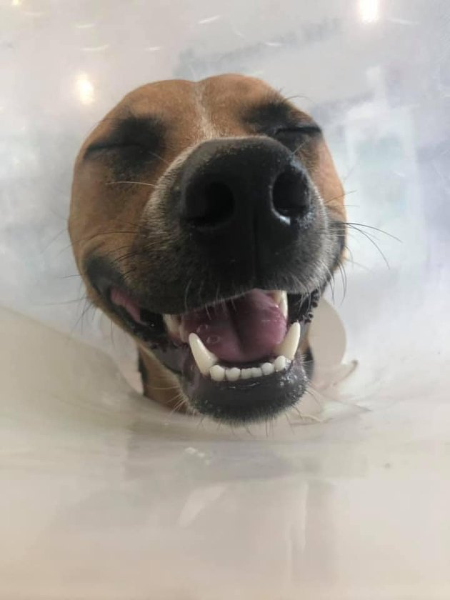 dog in cone smiling