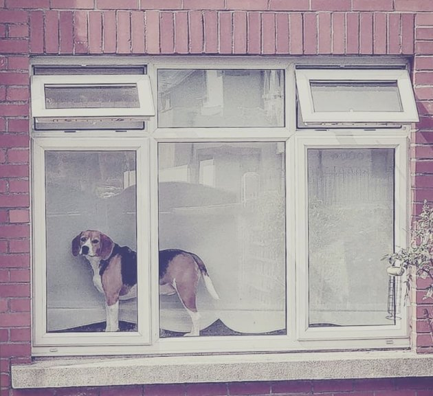 beagle on windowsill