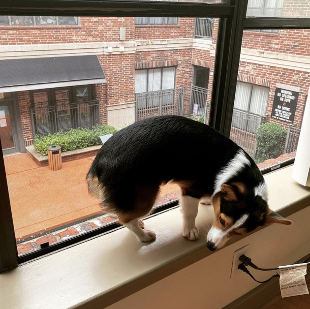 corgi on windowsill