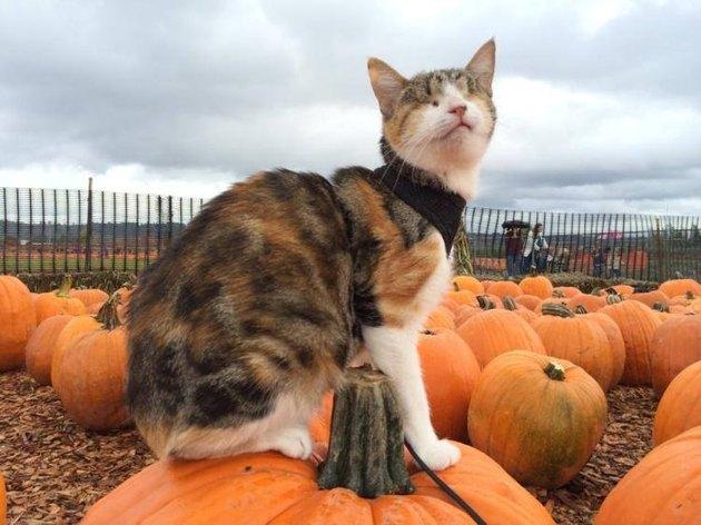 blind cat on pumpkin
