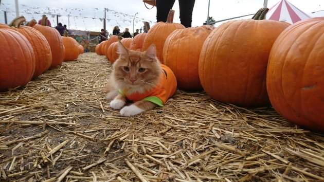 cat by pumpkins