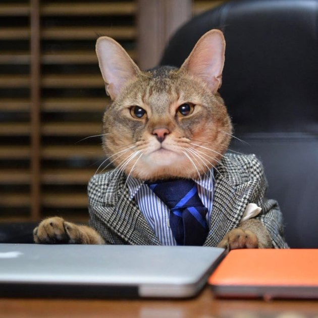 Cat wearing suit and tie.