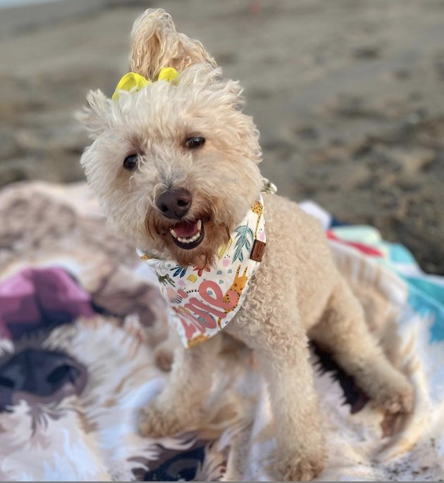 dog with yellow scrunchie