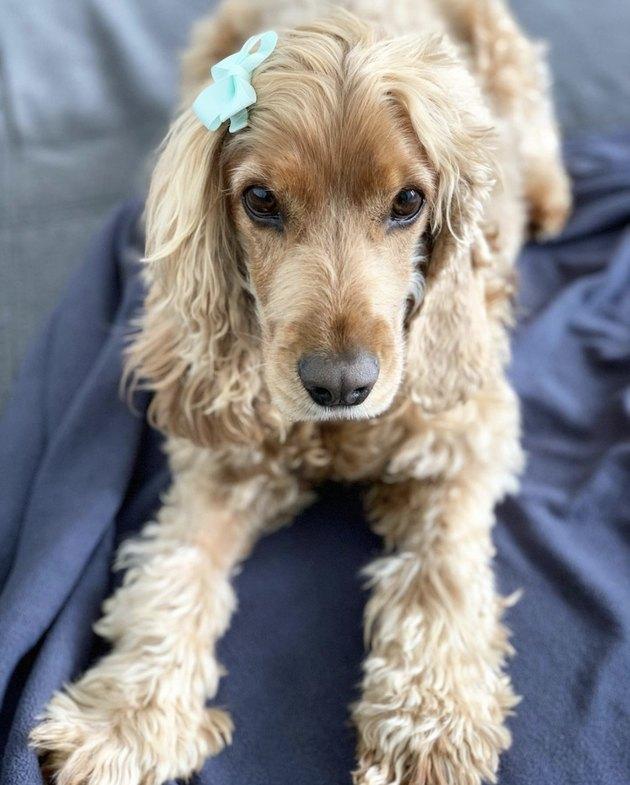 dog with blue hair clip