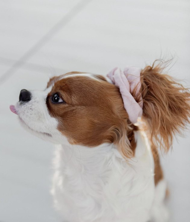 dog wearing a scrunchie