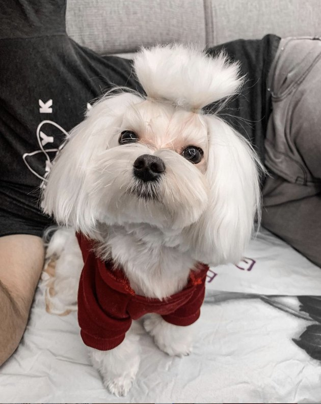 little white dog with fluffy ponytail