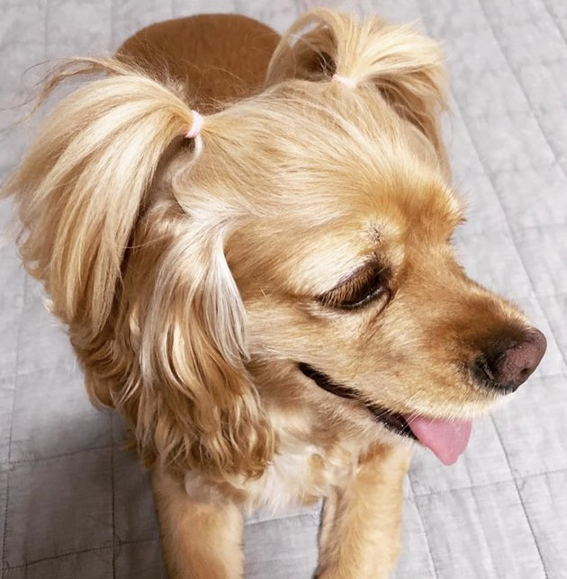 dog with pigtails