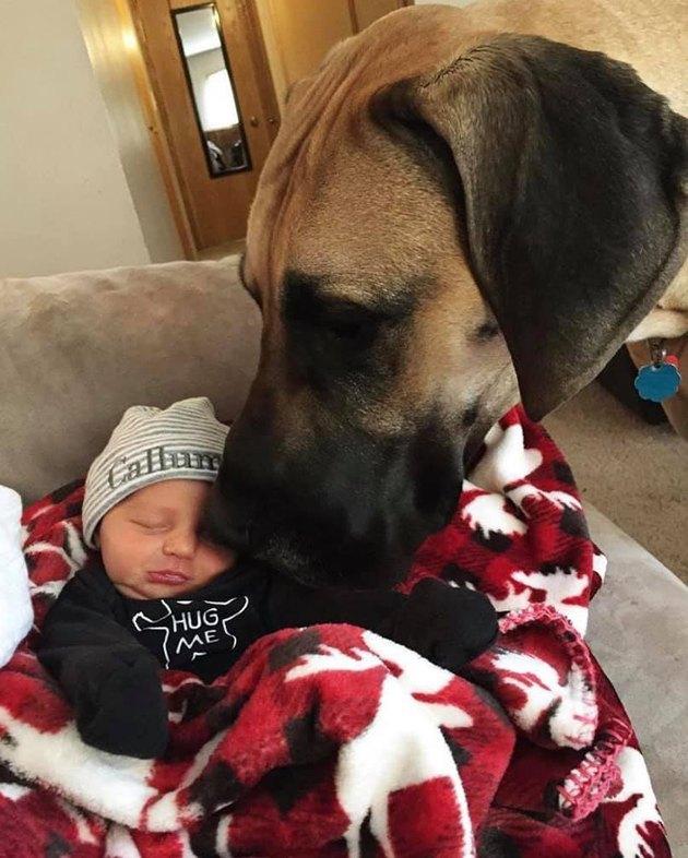 big dog watches over infant human