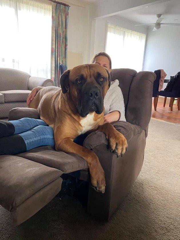big dog sits on human's lap