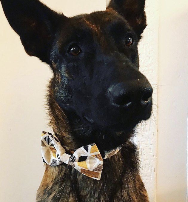 dog in yellow bowtie