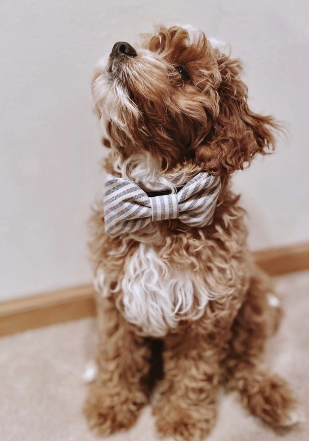 puppy with striped bow tie