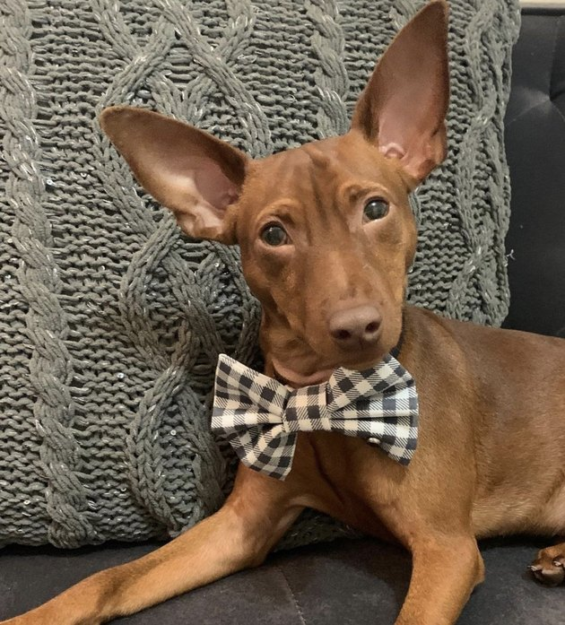 dog with big gingham bowtie