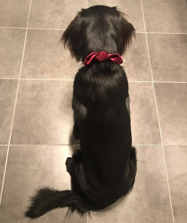 dog with red bowtie