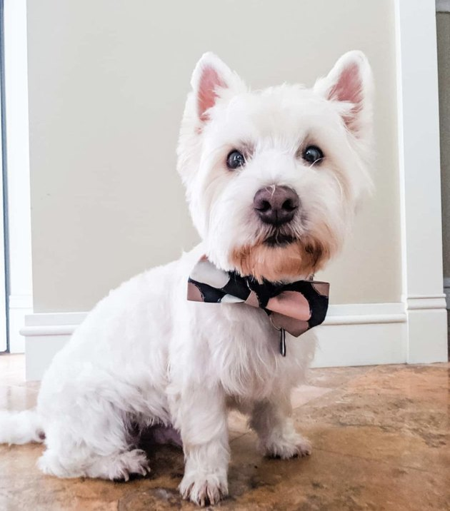white dog with polka dot bowtie