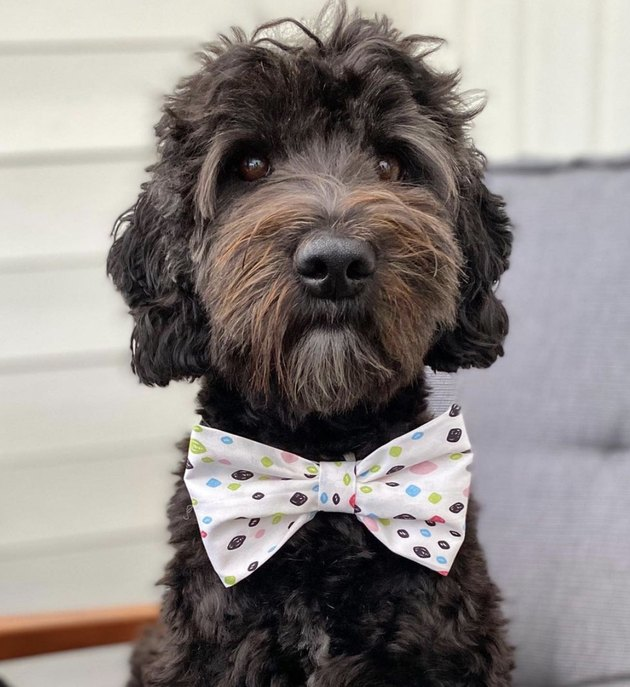 dog in dotted bowtie