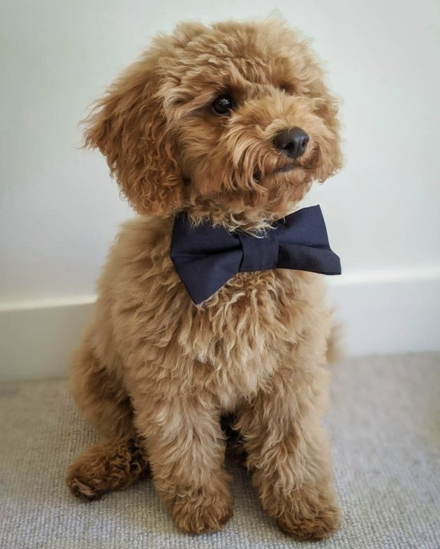 puppy with navy blue bowtie