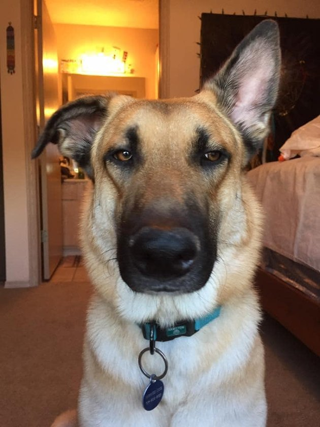german shepherd with one ear up
