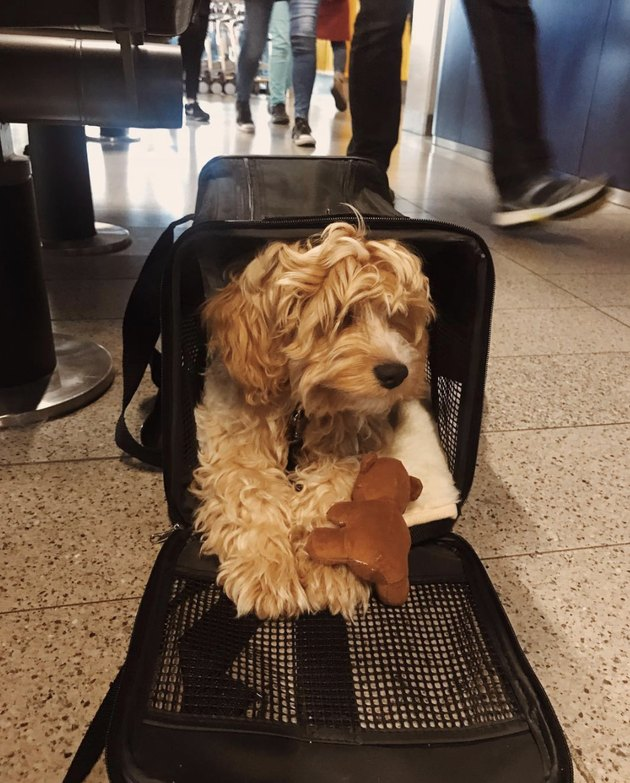 cockapoo in traveling bag