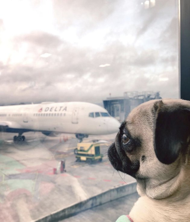 pug looking out window at plane