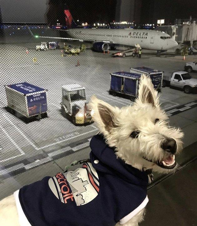 westie dog in airport