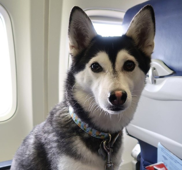 husky dog in window seat