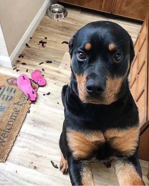 dog eats shoe insoles
