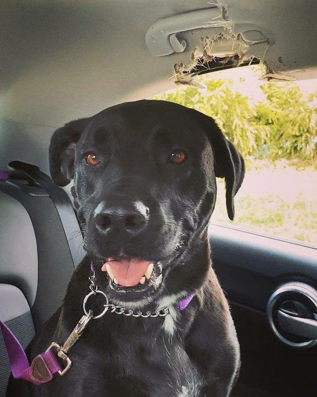 dog eats grab handle in car
