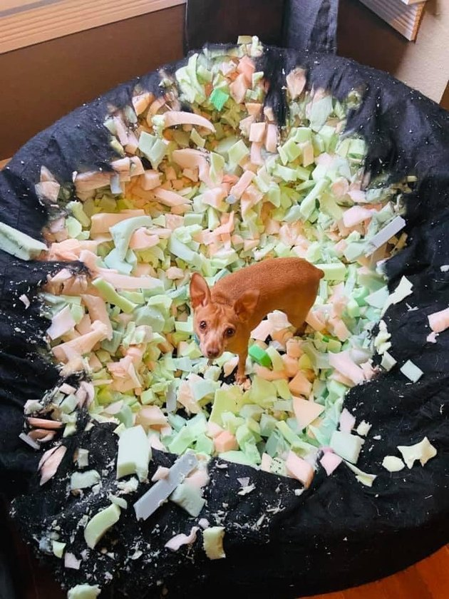 small dog destroys bean bag